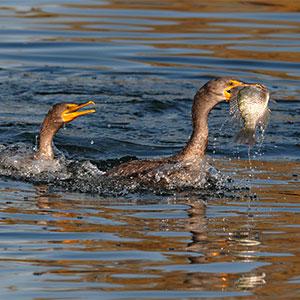 cormorant-300x300